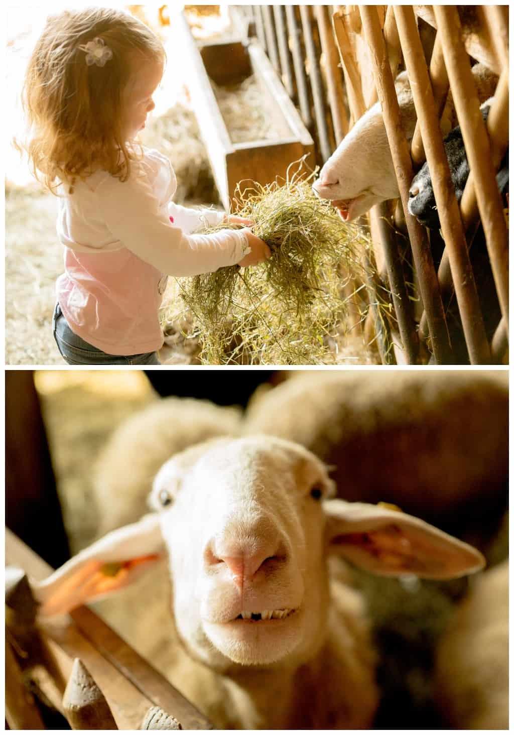 Schafe_füttern